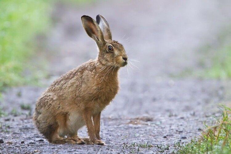 На Тернопільщині суд впаяв 850 гривень штрафу водію, який збив зайця, що перебігав дорогу