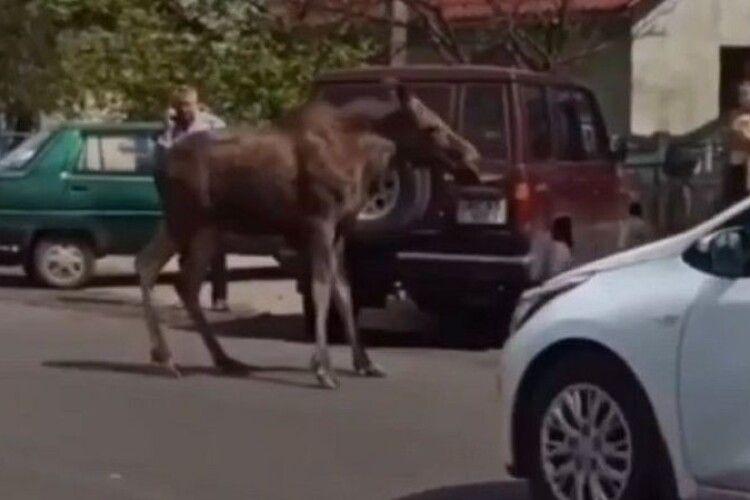 Волинським містечком гуляв лось (Відео)