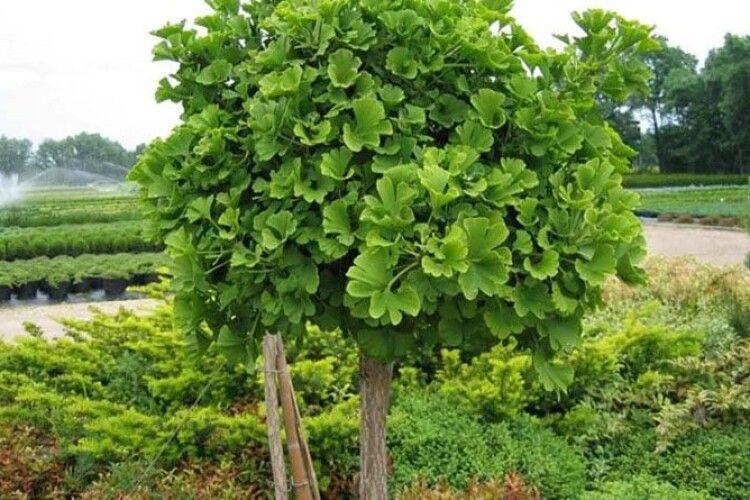 Завдяки зміні клімату в Україні є можливість вирощувати екзотичні дерева