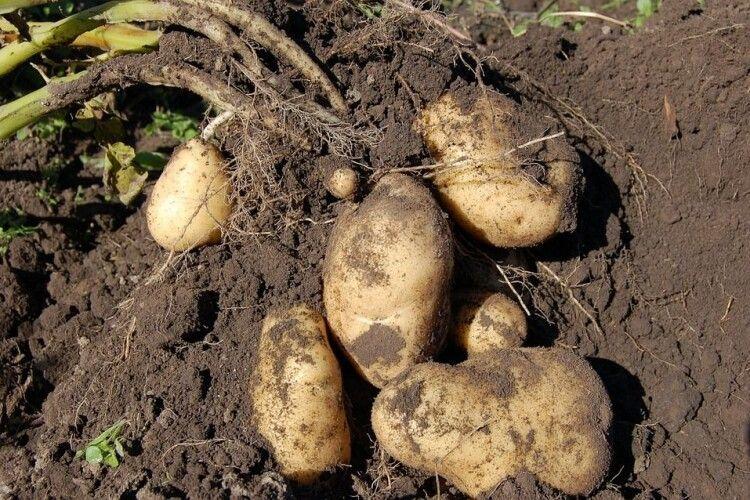 Чому українці смакують нідерландською картоплею