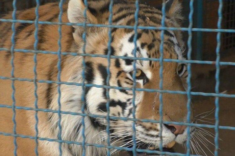 Тигр загриз працівника українського звіринця