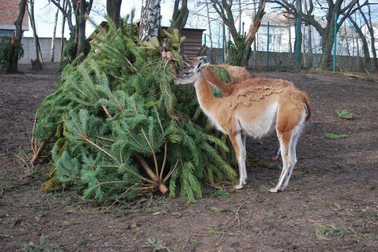 Звірина Рівненського зоопарку умне 600 сосен (фото)