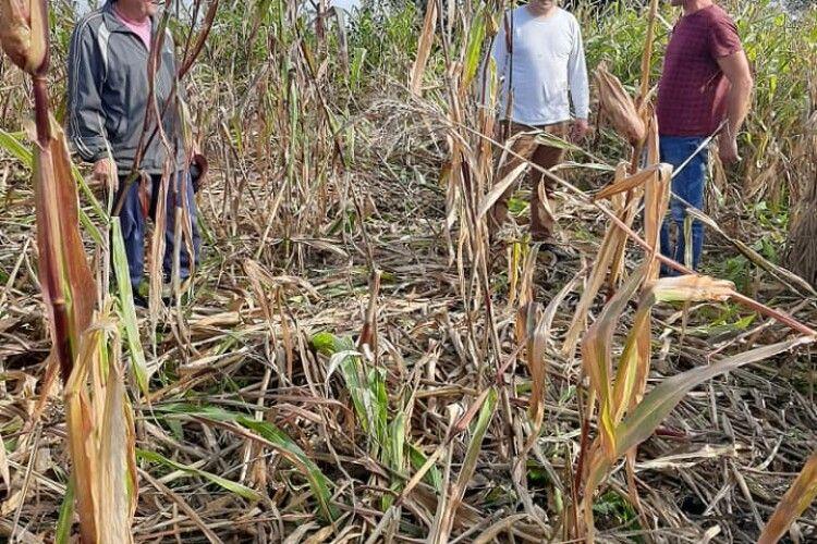 На Волині дикі кабани знищили врожаї людям (Фото)