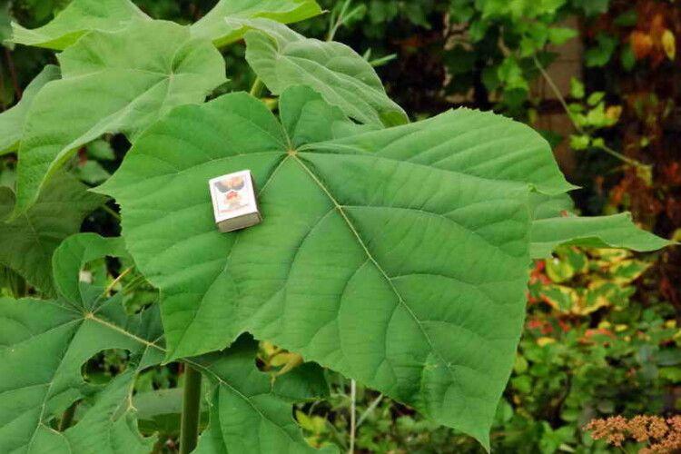 У Луцьку Центральний парк пропонують засадити швидкорослими деревами-гігантами