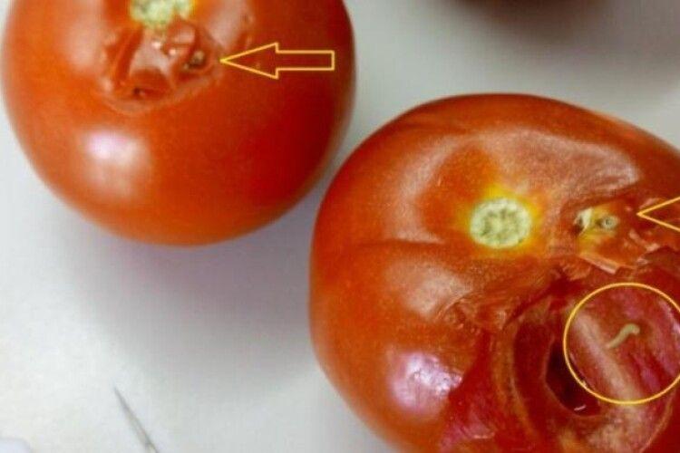 В Україну намагалася потрапити томатна міль Tuta absoluta: ще те падло – жере не тільки помідори, а й картоплю