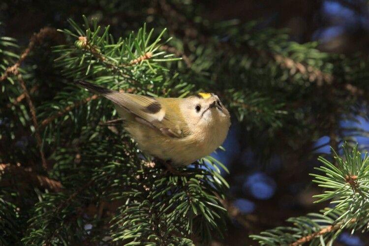 У Цуманській пущі наминає короїдів найменший птах України (Фото)