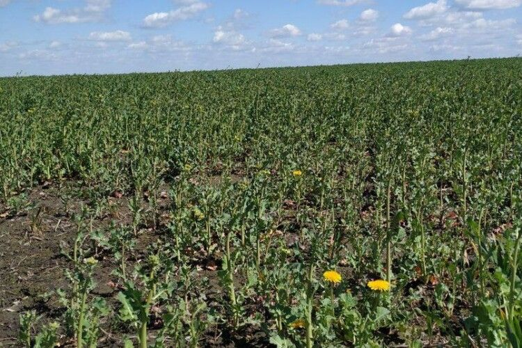 Весняна посівна на Волині: як заморозки і підтоплення вже вплинули на врожай і ціну