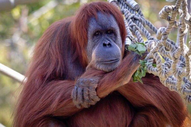 Поки в Україні теляться, у США вже щеплюють від коронавірусу орангутанів