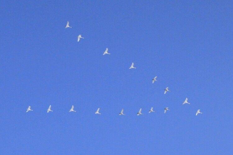 Українські лебеді масово втікають від морозів на південь (Фото)