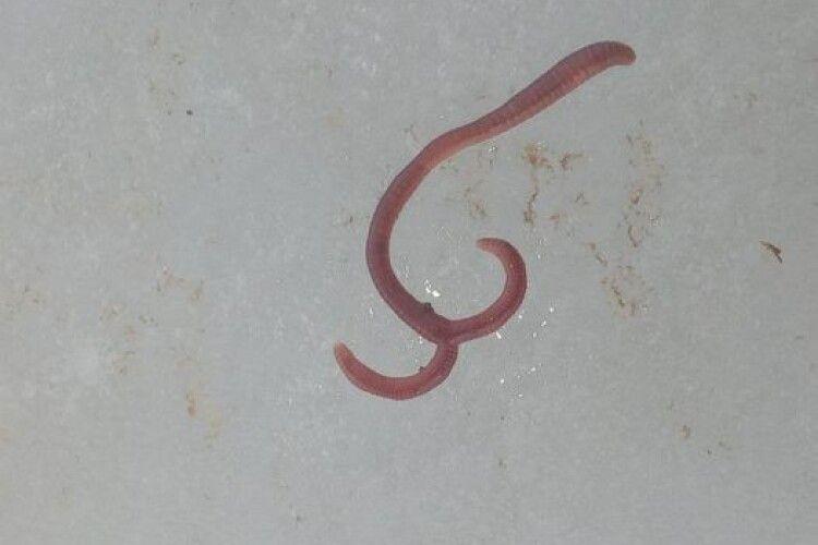 Волинський рибалка показав двоголового черв'яка