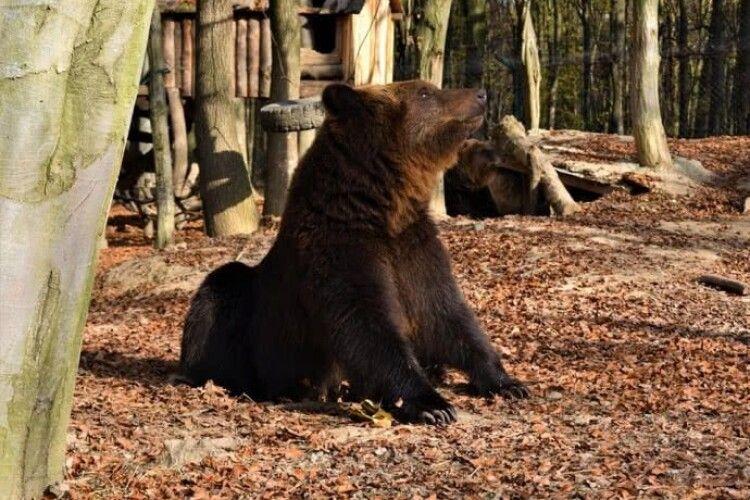 Через теплу осінь в Карпатах досі не можуть позасинати ведмеді