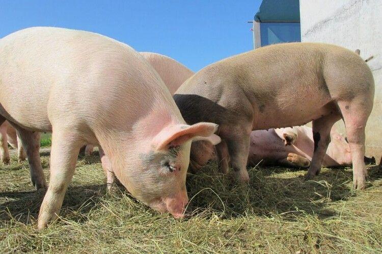 Худобу і свиней буквально розтерзали: невідомі тварини тримають у страху ціле село