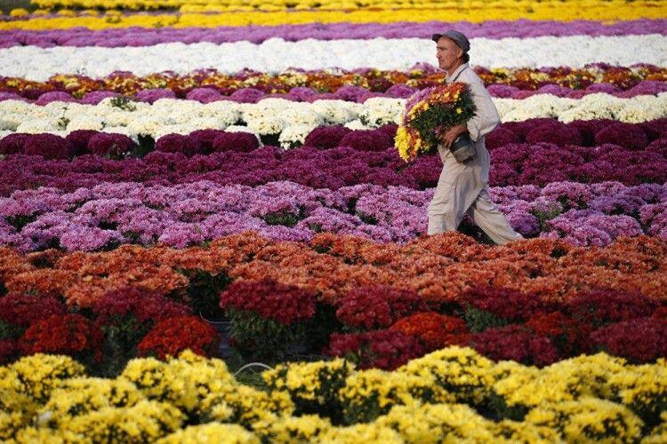 Волинян запрошують побачити плантації лілій і хризантем