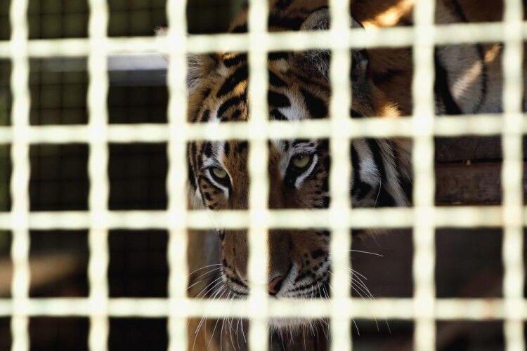 В окупованому Криму тигр відкусив однорічному хлопчику великого пальця на руці