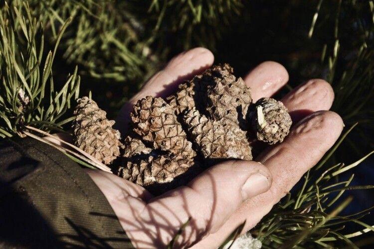 Взимку у Шацькому національному парку збирають майже тонну шишок – заради нового лісу
