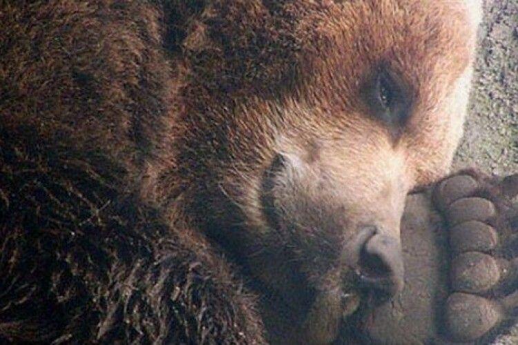 У зоопарку намагаються зберігати тишу, щоб не розбудити ведмедів