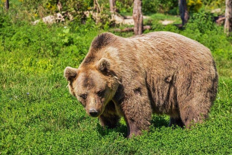 У волинському лісі помітили ведмедя