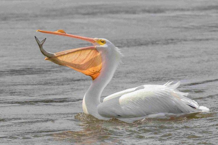 Пелікани Рівненського зоопарку дають уроки риболовлі (Відео)
