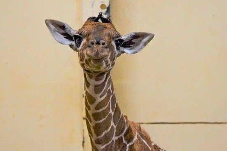 Жирафеня назвали на честь першої вакцинованої від COVID-19