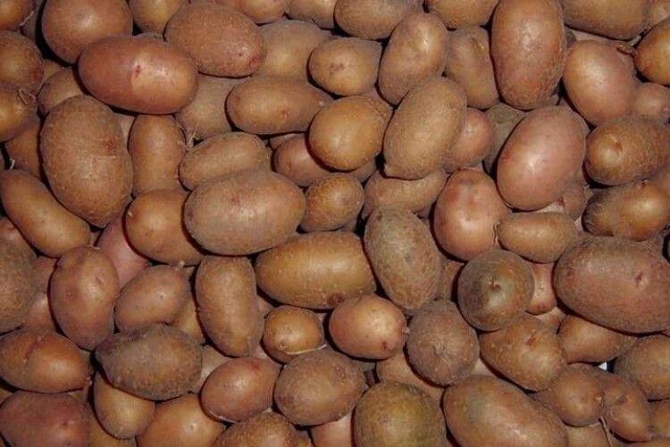 В Україні стрімко дорожчає картопля