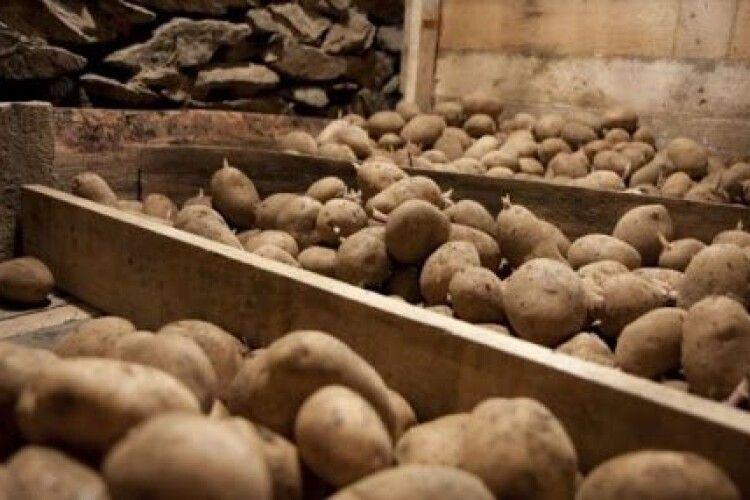 У селян на Горохівщині вкрали з льоху чотири центнери картоплі