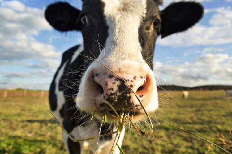 Порятуйте худобу від кровопивць. Наші поради