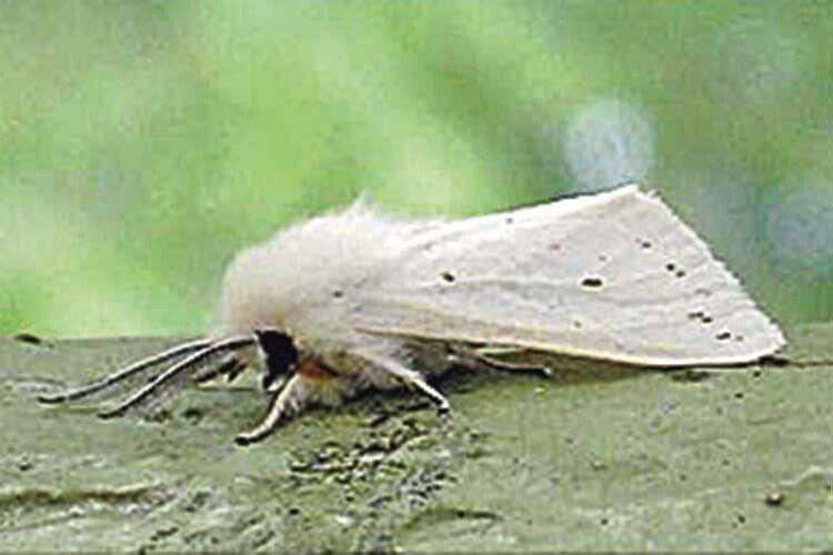 У Гощі на Рівненщині – нашестя білих американських метеликів