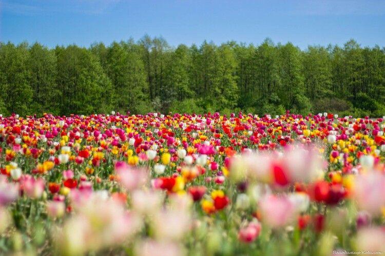 У Голобах на квіткове поле запрошують нюхати тюльпани, але в масках