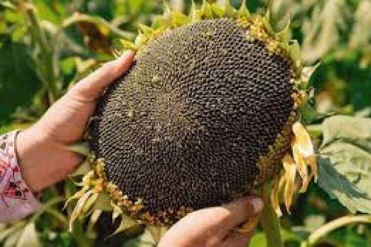 Українські аграрії почали збирати соняшник та просо