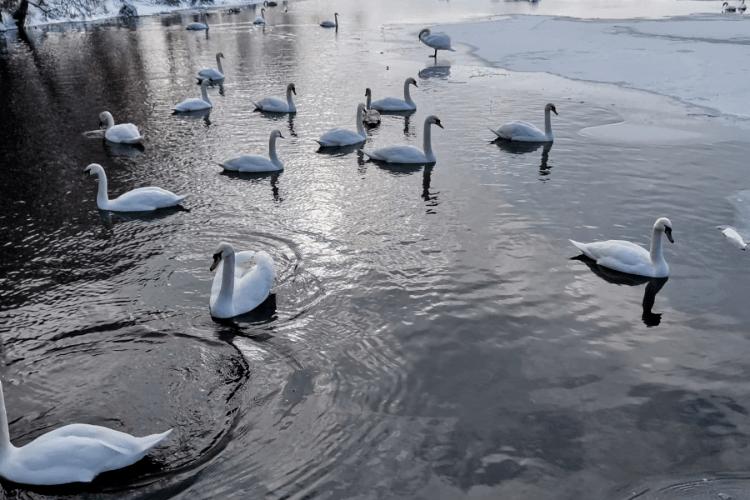 На Волині у ставку оселилася зграя лебедів