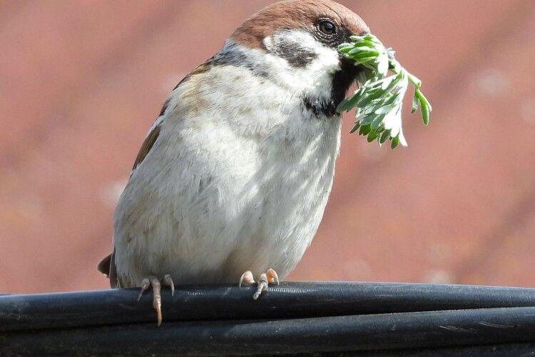 У горобців Рівненщини триває гніздобудівельний сезон (Фото)