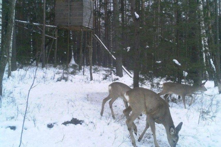 Звички та потреби диких тварин лісівники вивчають із допомогою камер відеоспостереження