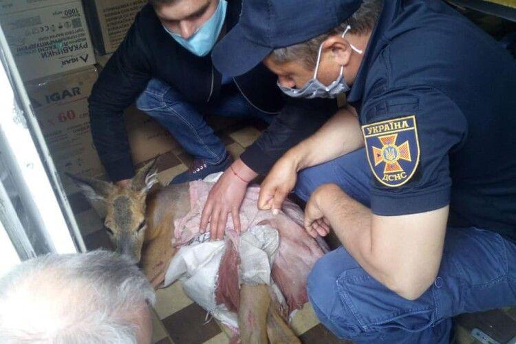 Небайдужі посеред міста рятували маленьке оленя (Фото)