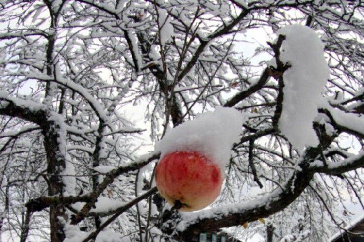 Зціліть кору меблевими цвяхами. Як плодовим деревам пережити нинішню зиму