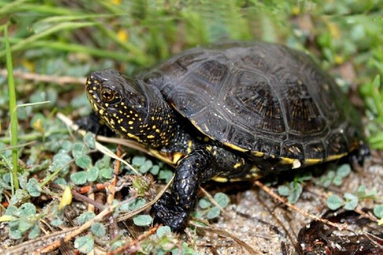 Волинян закликали не піднімати над головою болотяних черепах (Фото)