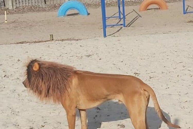 Чоловік «перетворив» свого пса на лева і лякав містян (Фото)
