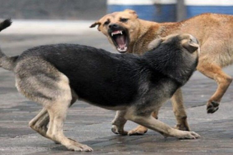 Шацьк заполонили зграї собак