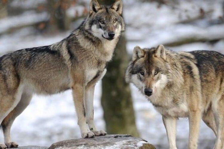 В районі Шацьких озер розгулюють зграї вовків