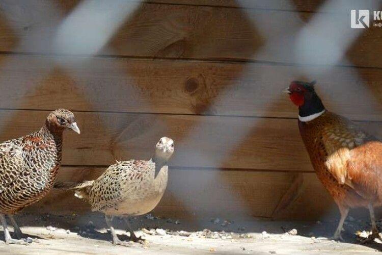На Волині випустили на волю із вольєрів 2000 фазанів (Відео)