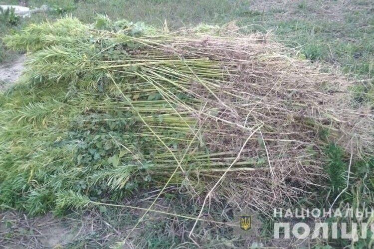 У Горохівському районі знайшли плантацію конопель