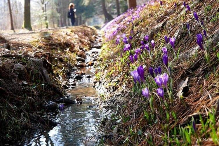 На Закарпатті масово цвітуть шафрани (Фото)
