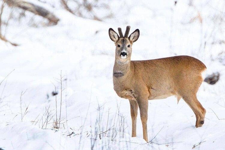 На Волині браконьєр застрелив дикого козла, коли прийшов по тушку – його затримали
