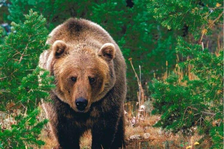 «Поява ведмедя на Волині – безпрецедентний випадок»