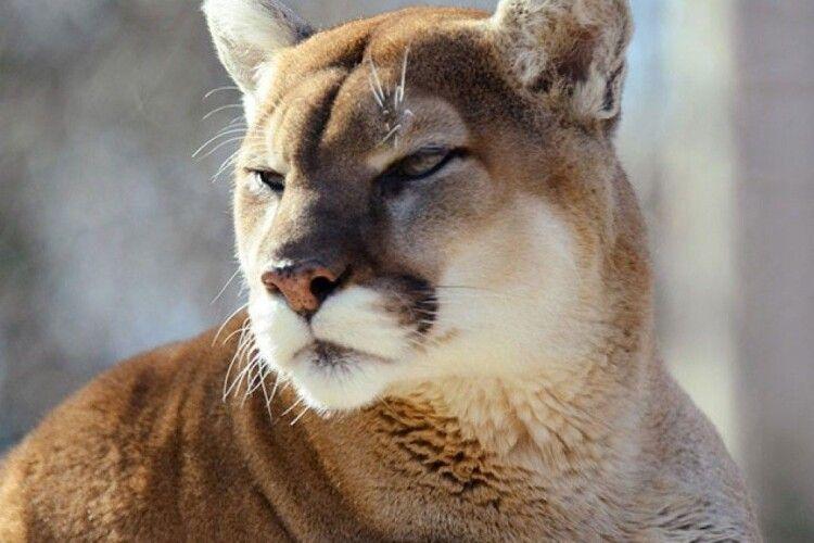 Рівненський зоопарк показав, як під час карантину живуть тамтешні пуми (Відео)