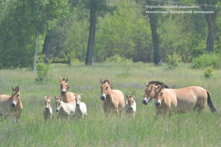 На околиці Чорнобиля помітили табун коней Пржевальского з лошатами