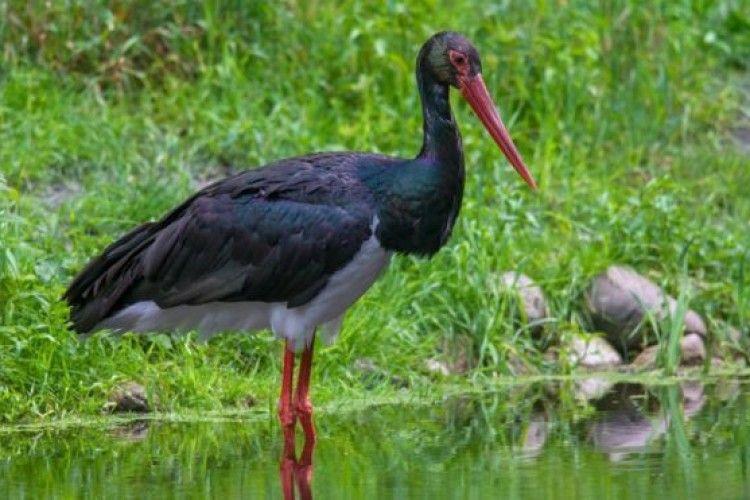 Чорний лелека через 18 років повернувся до Шацького національного парку