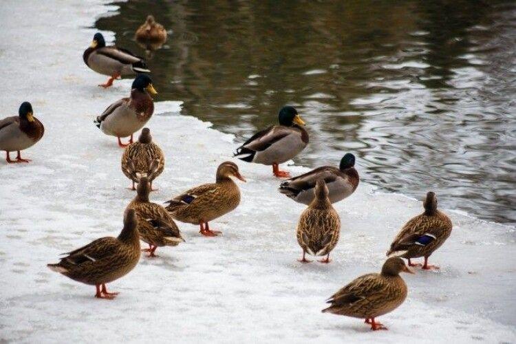 У Луцьку в одному місці зафіксували понад сотню качок