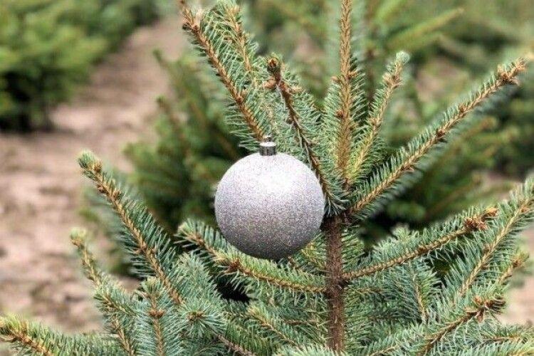 Волинські лісівники продали майже 60 тисяч хвойних дерев під час новорічних свят