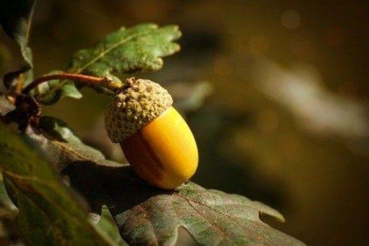 Волинські лісівники вирощують дуби з покращеними генетичними властивостями