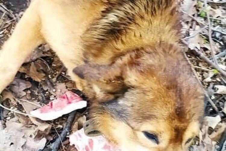 Під Луцьком машина збила собаку: чотирилапому потрібна поміч (Фото)
